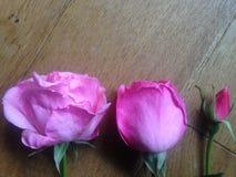 Drei Stadien von einem rosa stiegen Stockfoto