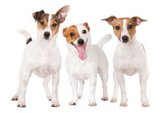 Drei Steckfassungsrussell-Terrierhunde zusammen auf Weiß Stockfoto