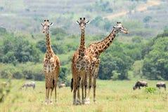 Drei stehende Giraffen Stockfotos