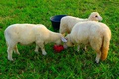 Drei stehende Schafe, die Salz lecken Lizenzfreie Stockfotografie