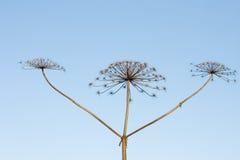 Drei Steuerknüppel von trockenem hogweed mit Kronen auf backgro Lizenzfreies Stockbild
