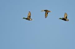 Drei Stockenten, die in einen blauen Himmel fliegen Stockbild