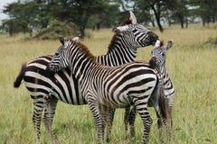 Drei streichelnde Zebras Lizenzfreies Stockbild