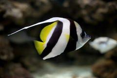 Drei Streifenfische Stockbilder