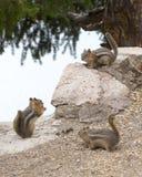 Drei Streifenhörnchen Lizenzfreies Stockfoto