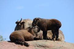 Drei Takins auf einem Berg Stockfoto