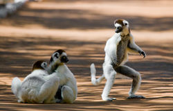 Drei tanzendes Sifakas auf Erde Lustige Abbildung madagaskar Stockfotos