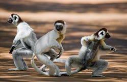 Drei tanzendes Sifakas auf Erde Lustige Abbildung madagaskar Stockbild