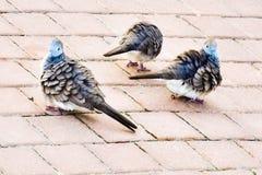 Drei Tauben Lizenzfreies Stockbild