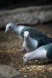 Drei Tauben, die Lebensmittel essen Lizenzfreie Stockbilder