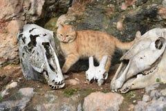 Drei Tierschädel und eine Katze lizenzfreie stockfotografie