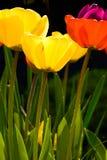 Drei Tulpen stockfoto