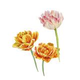 Drei Tulpen Stockbild