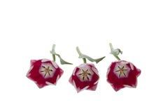 Drei Tulpen Lizenzfreie Stockfotografie