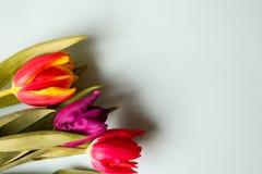 Drei Tulpen auf blauem Papierhintergrund Perfekte Einladung für Muttertag oder den Tag der internationalen Frauen Unbedeutendes h stockfoto