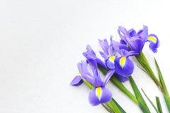 Drei Tulpen auf einem hellen Hintergrund Lizenzfreie Stockfotografie
