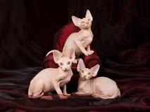 Drei unbehaarte Sphynx Kätzchen Lizenzfreies Stockfoto