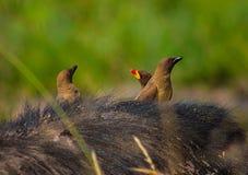 Drei Vögel, die auf Büffel ` s Rückseite stillstehen stockbild