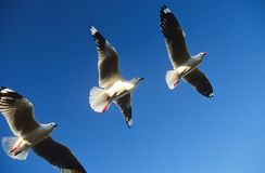 Drei Vögel, die in Folge fliegen Lizenzfreie Stockfotos