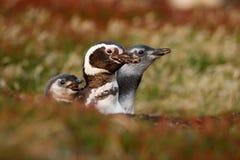 Drei Vögel im Verschachtelungsgrundloch, Baby mit Mutter, Magellanic-Pinguin, Spheniscus magellanicus, Verschachtelungsjahreszeit Lizenzfreie Stockfotos
