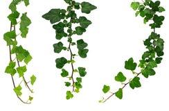 Drei verschiedene grüne Efeuzweige Stockfotos