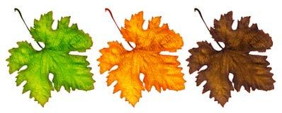 Drei verschiedene Herbstblätter Stockbild