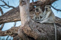 Drei Vervet-Affen, die auf einem Baum stillstehen Stockbild