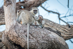Drei Vervet-Affen, die auf einem Baum stillstehen Stockfotografie