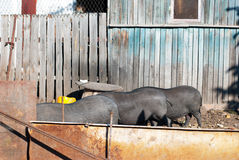 Drei vietnamesische Schweine in einer Reihe von stehen zurück zu einem yar Dorf Stockfotos