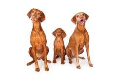 Drei Vizsla-Hunde, die zusammen sitzen Stockfotografie