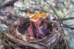 Drei Vogelbabys in einem Nest mit der breiten offenen Aufwartung der Schnäbel, zum F.E. zu sein Stockfoto