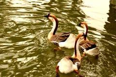 Drei von Schwanschwimmen auf Wasser Lizenzfreies Stockbild
