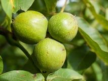 Drei Walnussfrüchte auf dem Baum Lizenzfreie Stockfotos