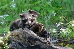 Drei Waschbären in einem hohlen Klotz Stockfoto