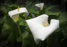 Drei weiße Callas stockfotos