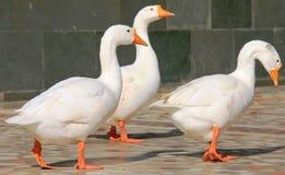 Drei weiße Enten Lizenzfreie Stockfotos