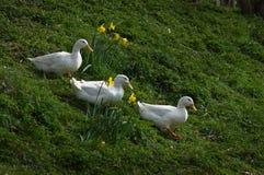 Drei weiße Enten Stockfotografie