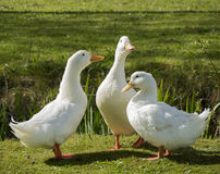 Drei weiße Enten Lizenzfreies Stockbild