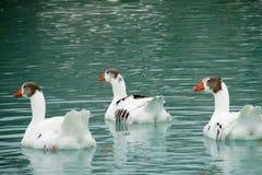 Drei weiße Gänse im Wasser Lizenzfreie Stockbilder