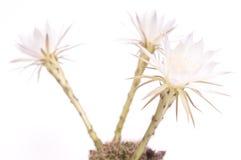 Drei weiße Kaktusblumen Stockbild