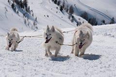 Drei weiße Samoyedhunde Stockfoto
