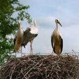 Drei weiße Störche, die in einem Nest sitzen Lizenzfreie Stockfotos
