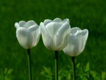 Drei weiße Tulpen Lizenzfreies Stockfoto