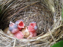 Drei weiße Wagtails Hatchlings im Nest lizenzfreie stockfotografie