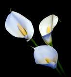 Drei Weiß Callalilie auf einem schwarzen Hintergrund Lizenzfreie Stockfotos