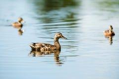 Drei weibliche Stockenten, die im Abzugsgraben schwimmen Lizenzfreies Stockbild