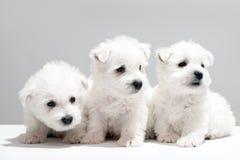 Drei weiße Welpen, die zusammen stillstehen Stockbild