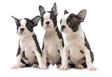 Drei Welpen-Boston-Terrier im weißen Fotostudio Stockbild
