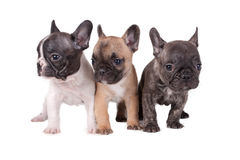 Drei Welpen der französischen Bulldogge Stockfoto