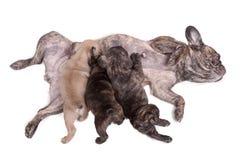 Drei Welpen der französischen Bulldogge, die Milch saugen Stockbild